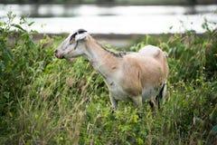 La cabra en el campo imágenes de archivo libres de regalías