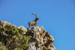 La cabra en el top de la montaña Fotografía de archivo libre de regalías