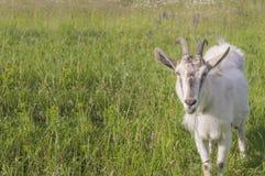 La cabra en prado del verano muestra la lengua Fotografía de archivo