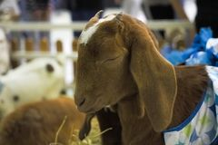 La cabra es sueño en granja Fotos de archivo libres de regalías