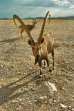 La cabra espera la porción Fotografía de archivo