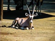 La cabra hermosa con los cuernos grandes miente en el sol imágenes de archivo libres de regalías