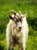 La cabra hojea en el campo imagen de archivo libre de regalías