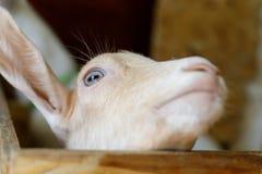 La cabra joven mira para arriba Primer Foco selectivo imagenes de archivo