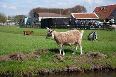 La cabra Kinderdijk, Países Bajos fotografía de archivo
