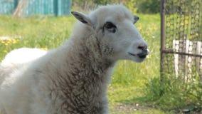 La cabra linda pide la comida metrajes
