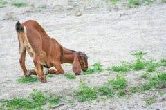 La cabra marrón utiliza la pierna delantera para arrodillarse sentándose para come la hierba en fondo de la arena foto de archivo libre de regalías