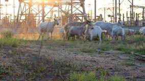 La cabra mastica la hierba almacen de video