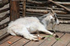 La cabra miente en la yarda - el ganado en la granja Foto de archivo libre de regalías