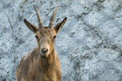 La cabra mira reservado antes de sí mismo Foto de archivo