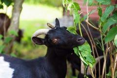 La cabra negra come la hoja foto de archivo libre de regalías