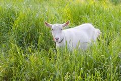 La cabra pastó en un prado fotos de archivo