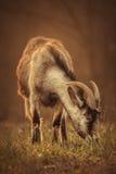 La cabra pasta imagen de archivo