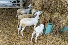La cabra pasta fotografía de archivo libre de regalías