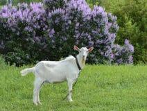 La cabra pasta en un prado cerca del hogar fotos de archivo