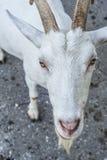 La cabra que espera quiere algo de usted Imágenes de archivo libres de regalías