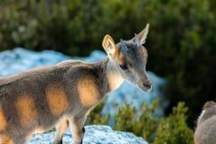 La cabra que se relaja en la montaña fotografía de archivo