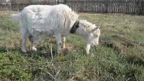 La cabra rusa sucia siembra en el prado y come la hierba verde almacen de metraje de vídeo