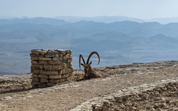 La cabra salvaje - aegagrus de Carpa Imagenes de archivo