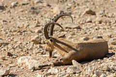 La cabra salvaje (aegagrus de Carpa) Fotos de archivo