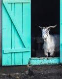 la cabra se coloca en entrada Fotos de archivo libres de regalías