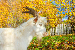La cabra se pasta en un prado imagenes de archivo