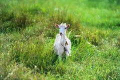 La cabra se pasta en un prado verde imágenes de archivo libres de regalías
