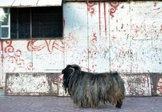 La cabra tibetana de la montaña con algunos dreadlocks alrededor de Labrang imagen de archivo libre de regalías