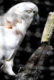 La cacatúa come el almuerzo, maíz delicioso fotos de archivo libres de regalías