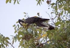 La cacatúa negra de Carnaby en árbol de nuez de pacana en otoño Imagen de archivo libre de regalías
