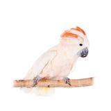 La cacatúa salmón-con cresta en blanco imágenes de archivo libres de regalías