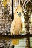 La cacatua ? animale domestico sveglio fotografia stock libera da diritti