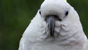 La cacatua bianca si siede in una gabbia dal nastro metallico in uno zoo il vento fluttua la sua piuma video d archivio