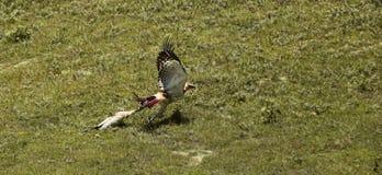 La caccia di Eagle Fotografie Stock Libere da Diritti