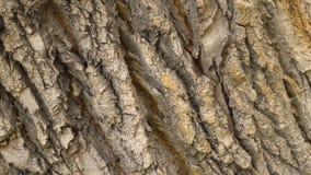 La cacerola del primer de la corteza del roble gira Fondo de la rotación del primer del árbol del pino 4k macro metrajes