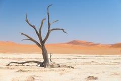 La cacerola escénica de Sossusvlei y de Deadvlei, de la arcilla y de la sal con los árboles trenzados del acacia rodeados por las Fotografía de archivo