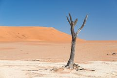 La cacerola escénica de Sossusvlei y de Deadvlei, de la arcilla y de la sal con los árboles trenzados del acacia rodeados por las Fotografía de archivo libre de regalías