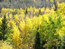 La caduta degli alberi di Aspen colora il giallo in foresta Fotografie Stock Libere da Diritti