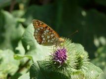 La caduta della farfalla un oot di Fotografia Stock Libera da Diritti
