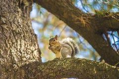 La caduta e gli scoiattoli sono inseparabili Fotografie Stock
