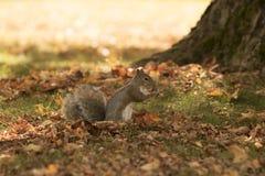 La caduta e gli scoiattoli sono inseparabili Immagini Stock Libere da Diritti