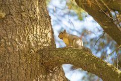 La caduta e gli scoiattoli sono inseparabili Immagine Stock Libera da Diritti