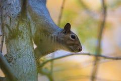 La caduta e gli scoiattoli sono inseparabili Immagini Stock