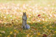 La caduta e gli scoiattoli sono inseparabili Fotografia Stock Libera da Diritti