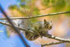 La caduta e gli scoiattoli sono inseparabili Fotografie Stock Libere da Diritti