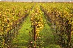 la caduta lascia a viti di righe di napa il colore giallo delle vigne fotografie stock libere da diritti