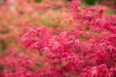 La caduta rossa va, acero giapponese con fondo confuso Fotografia Stock