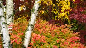 La caduta saturata di colore lascia la stagione di autunno della tremula della betulla dell'acero archivi video