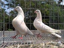 La cage du pigeon Photos libres de droits