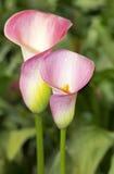 La cala rosada con muchos se va Fotos de archivo